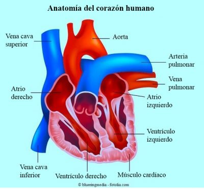 corazón, aurícula, ventrículo