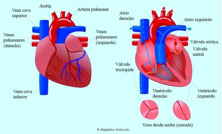 corazón, válvula, tricúspide, mitral