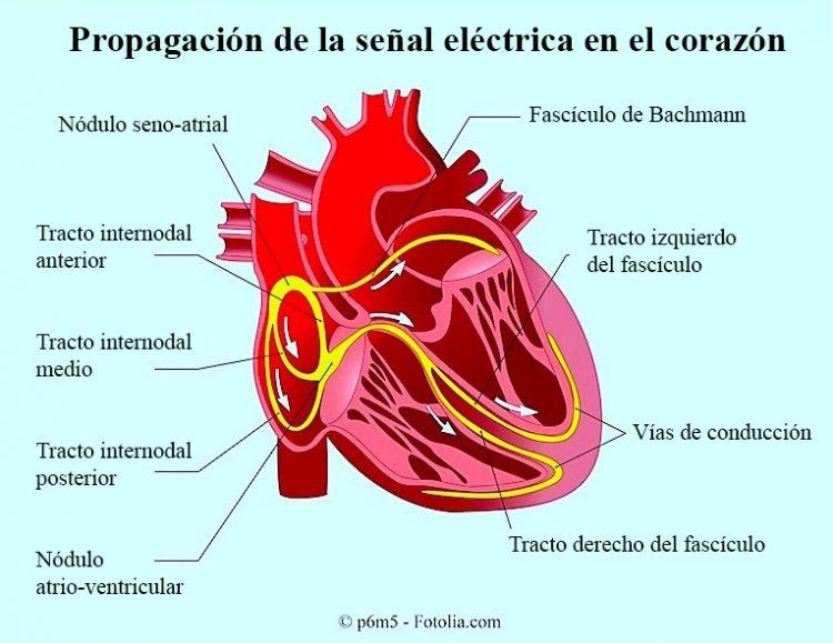 corazón, nodo sinoauricular, conducción