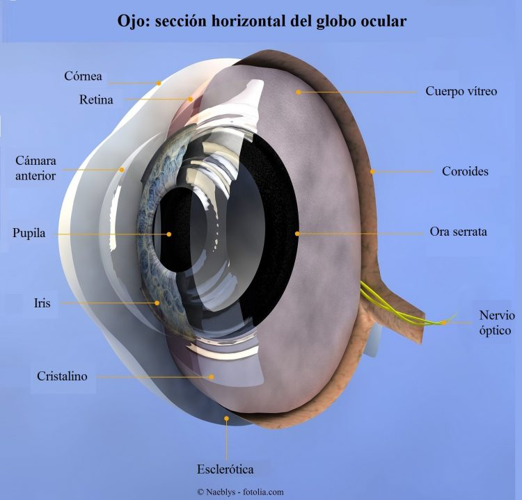 ojo, córnea, retina, esclera