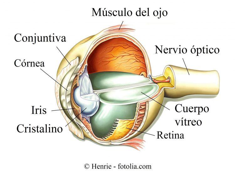 ojo, nervio óptico, iris