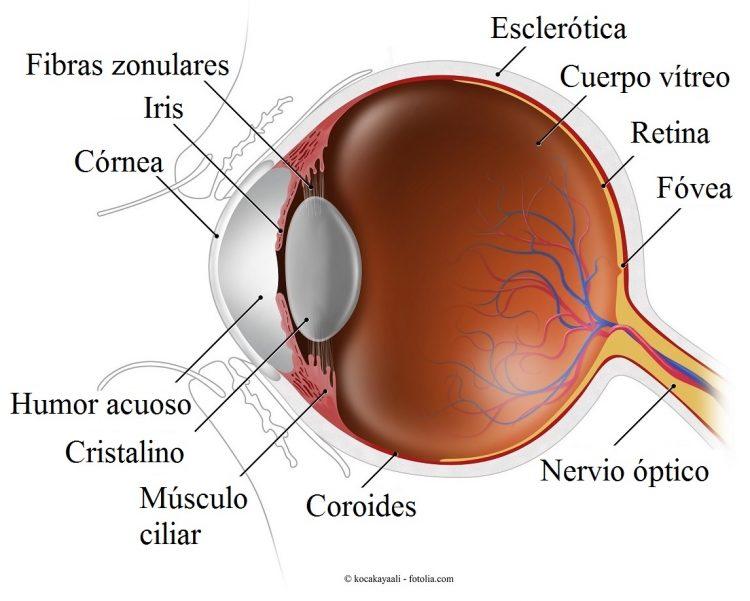 ojo, esclera, coroides