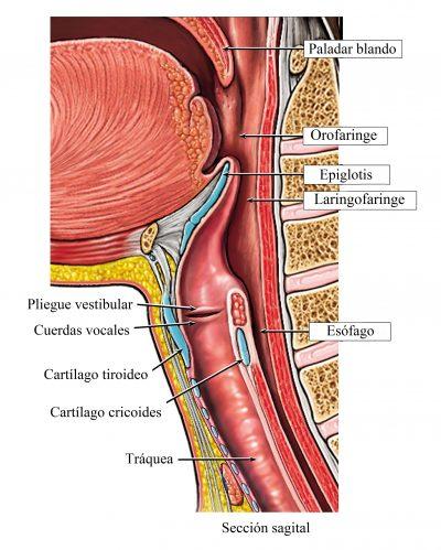 laringe, cuerdas vocales, úgula, esófago