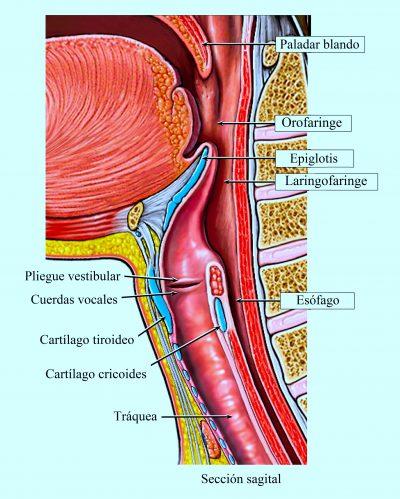 Garganta, laringe, cuerdas vocales