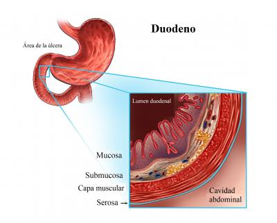 duodeno, parte interna, estómago, anatomía