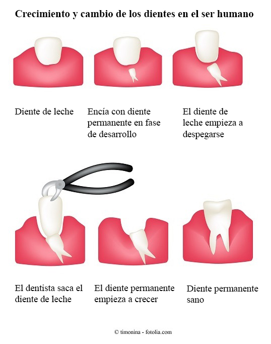 erupción, dientes de leche