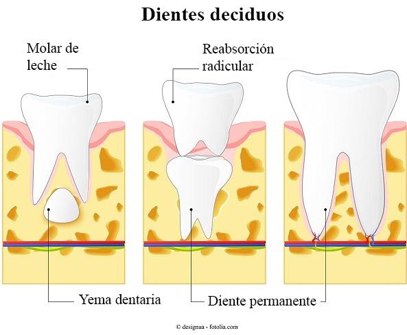 dientes, deciduos, molar, de leche, permanentes