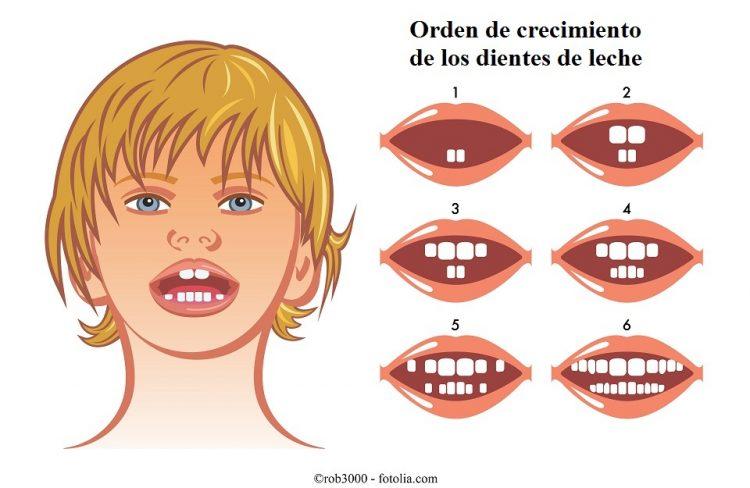 orden de salida de los diente de leche