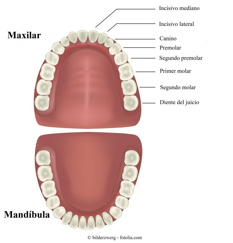 incisivos, caninos, premolares, molares
