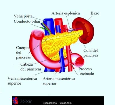 páncreas, cabeza, cola, vena cava, hígado, duodeno